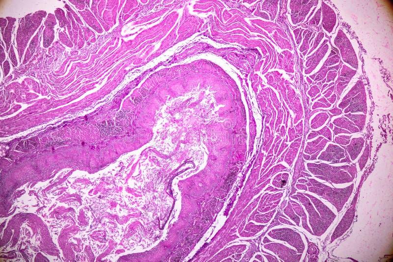 Corte transversal del cerebelo y del nervio humanos debajo del microscopio para la educación foto de archivo