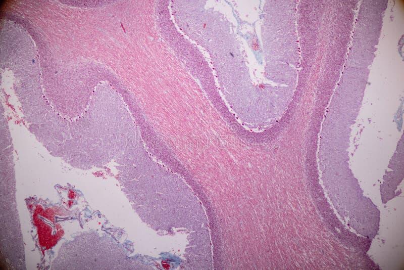 Corte transversal del cerebelo y del nervio humanos debajo del microscopio para la educación imagenes de archivo