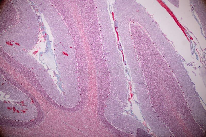 Corte transversal del cerebelo y del nervio humanos debajo del microscopio para la educación fotografía de archivo