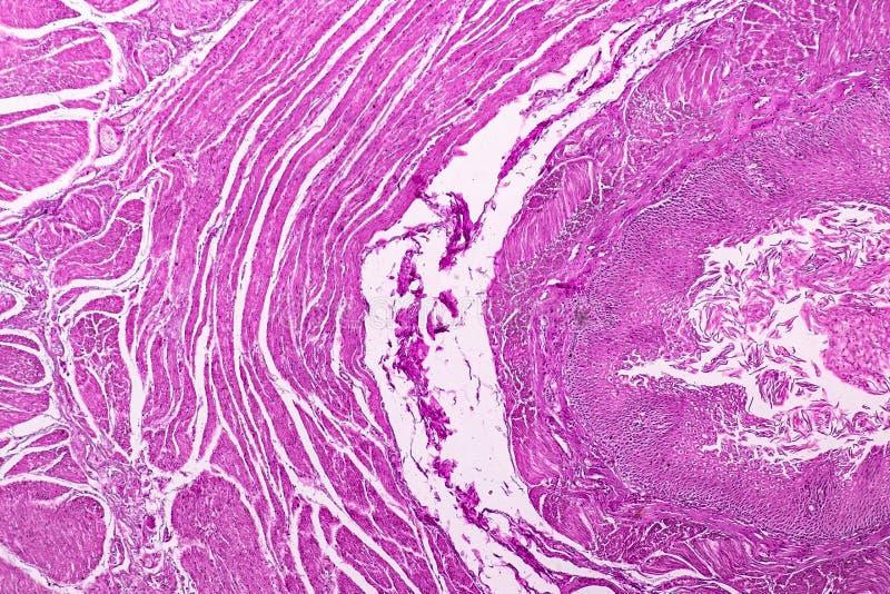 Corte transversal del cerebelo y del nervio humanos debajo del microscopio para la educación fotografía de archivo libre de regalías