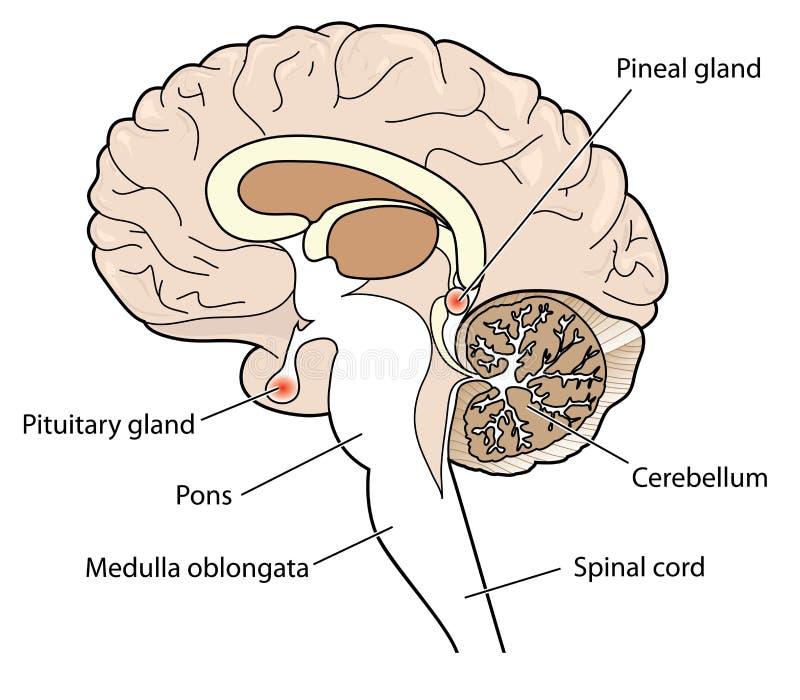 Corte transversal del cerebro ilustración del vector