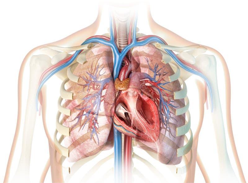 Corte transversal humano del corazón con los buques, los pulmones, el árbol bronquial y la caja torácica del corte libre illustration