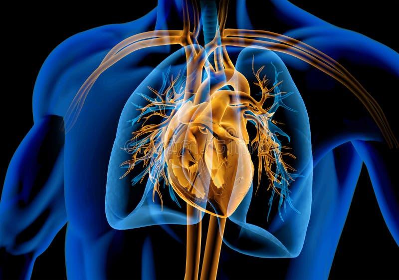 Corte transversal humano del corazón con los buques, los pulmones, el árbol bronquial y la caja torácica del corte Radiografía ilustración del vector