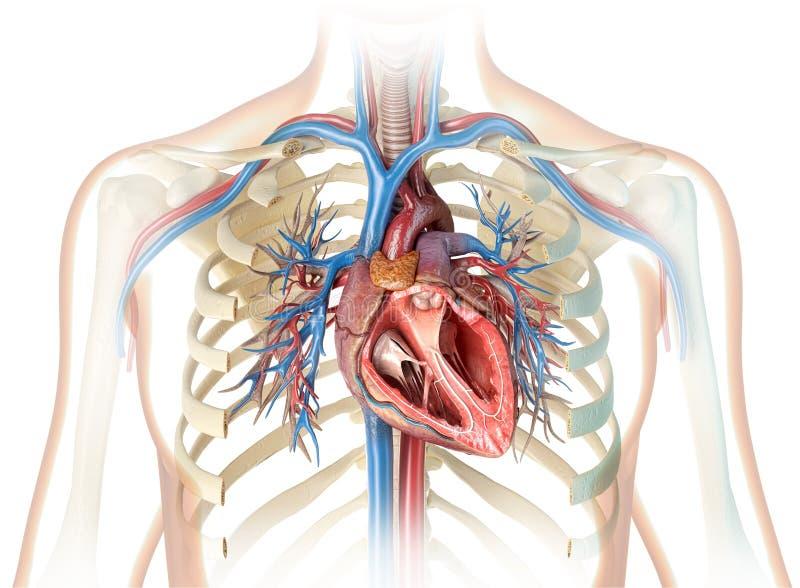 Corte transversal humano del corazón con los buques y el árbol bronquial ilustración del vector