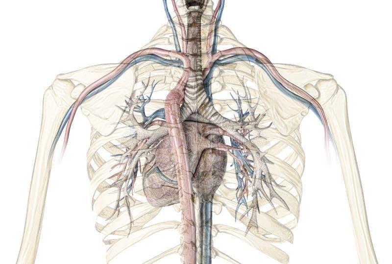 Corte transversal humano del corazón con los buques y el árbol bronquial libre illustration