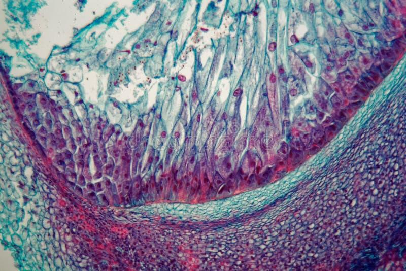 Corte transversal a través de las células de un almácigo de una planta del maíz debajo del microscopio imágenes de archivo libres de regalías