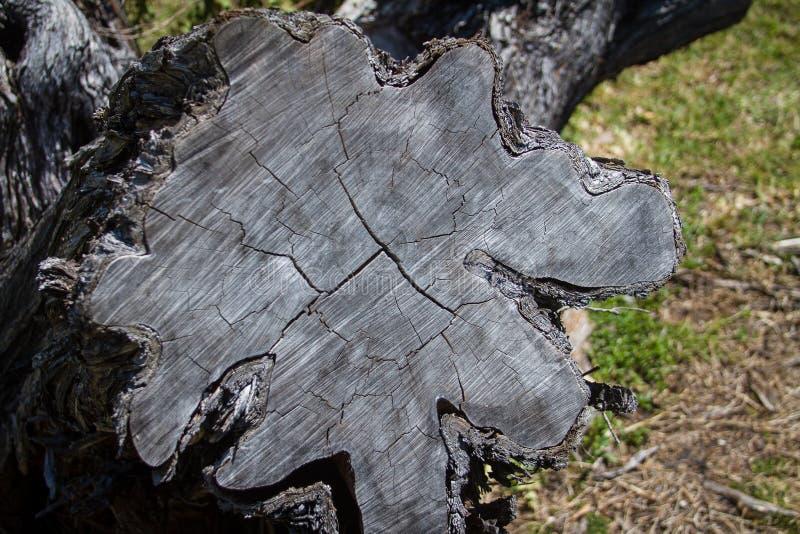 Corte transversal - tronco de árbol fotografía de archivo