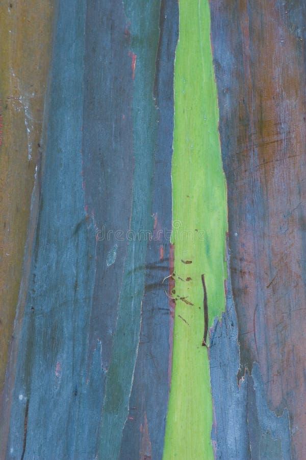 Corteccia 2 dell'eucalyptus fotografia stock