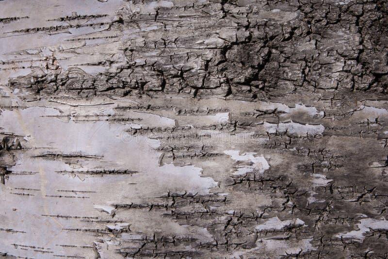 corteccia Bianco-grigia di vecchio albero nel parco come struttura Corteccia di albero su un fondo Struttura della corteccia di u fotografia stock libera da diritti
