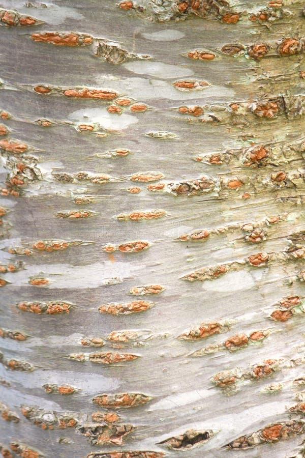 Corteccia del ciliegio   immagine stock libera da diritti