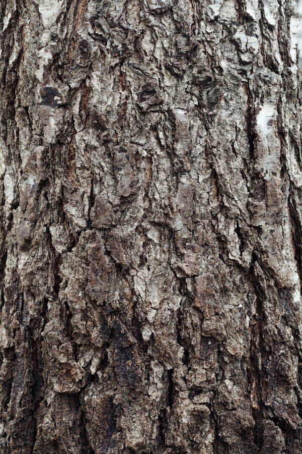 Corteccia del fondo dell'albero immagini stock libere da diritti