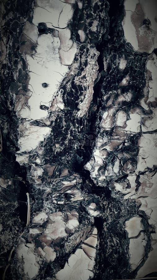 Corteccia 2 del pino immagini stock