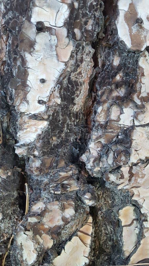 Corteccia 3 del pino fotografie stock