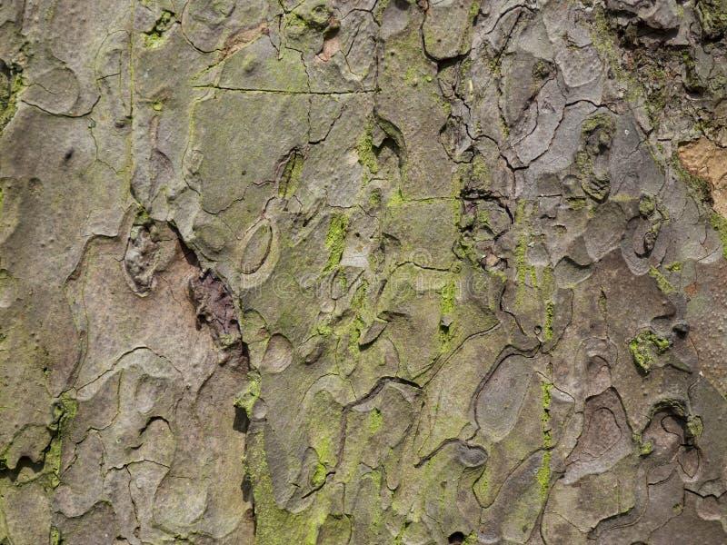Corteccia del pino immagini stock