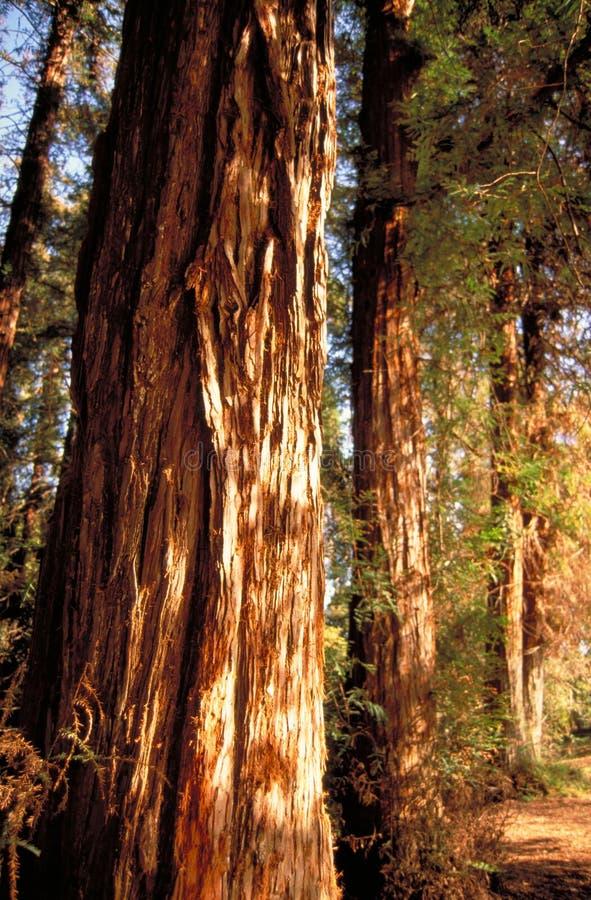 Corteccia del Redwood fotografia stock libera da diritti