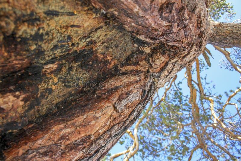 Corteccia del tronco del primo piano della conifera Fuoco selettivo fotografia stock libera da diritti