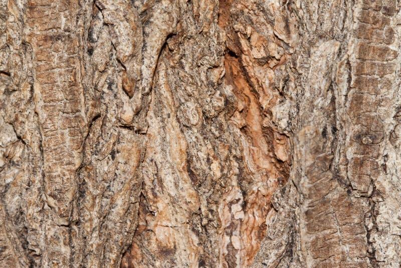 Corteccia dell'albero. Cenni storici. fotografie stock