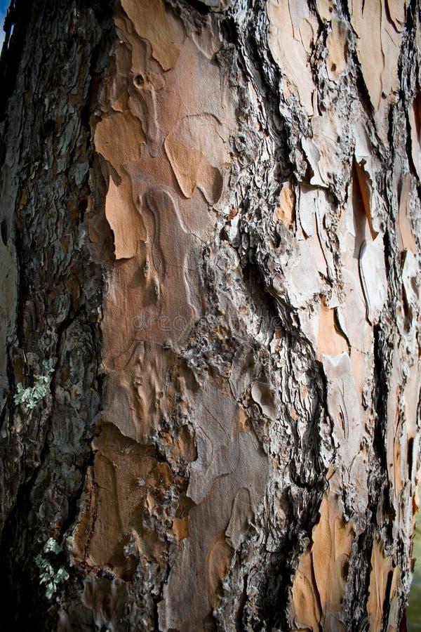 Corteccia dell'albero di pino fotografie stock