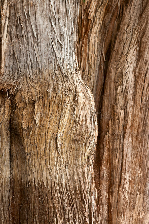 Corteccia dell'albero di Tule fotografie stock