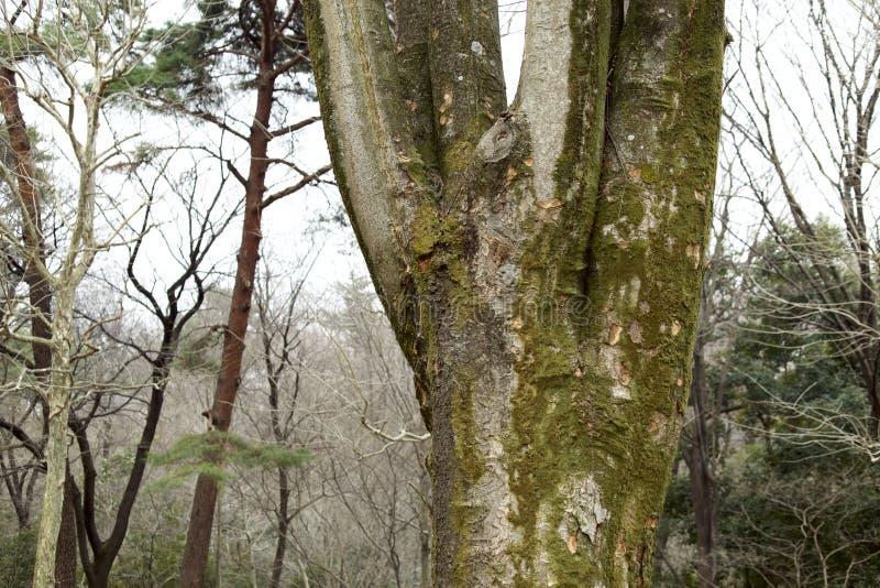 Corteccia dell'albero di zelkova immagine stock