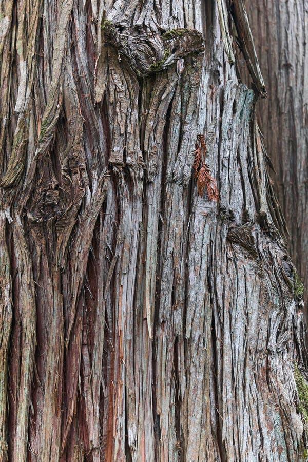Corteccia dell'albero gigantesco del thuja di plicata immagine stock libera da diritti