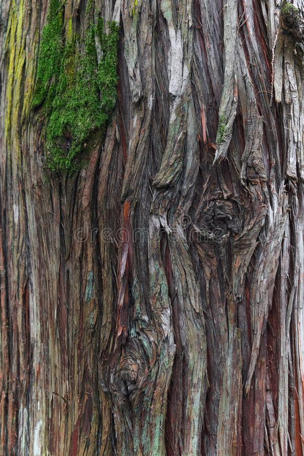 Corteccia dell'albero gigantesco del thuja di plicata con muschio fotografia stock