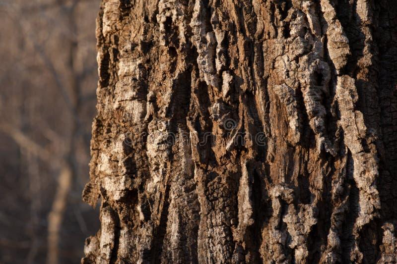Corteccia della fine dell'albero su fotografia stock