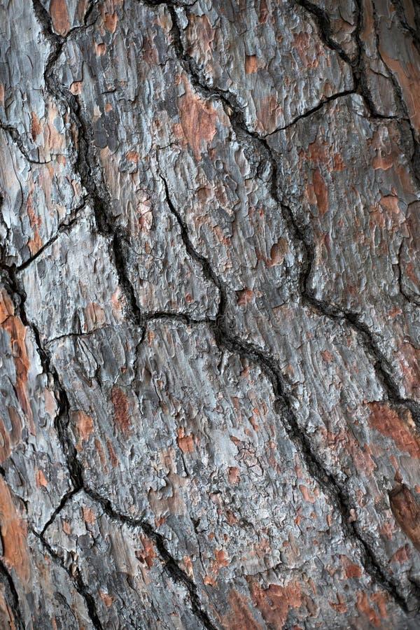 Corteccia della priorit? bassa dell'albero di pino Macro foto immagini stock libere da diritti