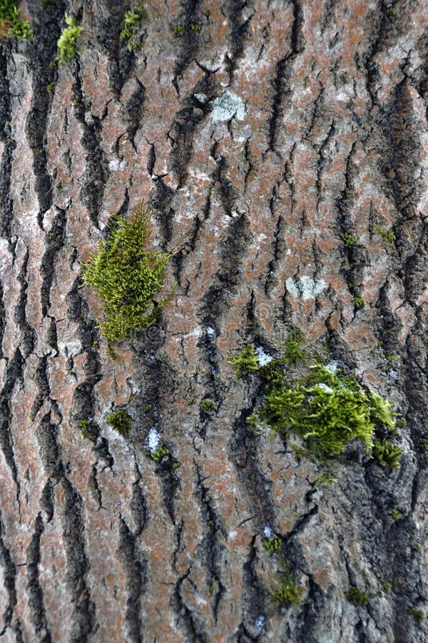 Corteccia di albero Aspen Tree testure immagine immagine stock