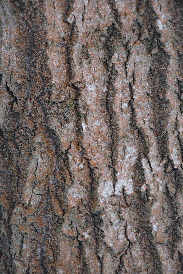 Corteccia di albero Aspen Tree testure immagine fotografia stock libera da diritti