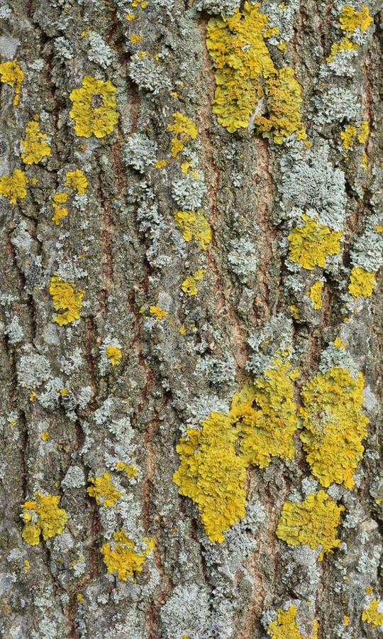 Corteccia di albero con il lichene grigio e giallo su  immagine stock