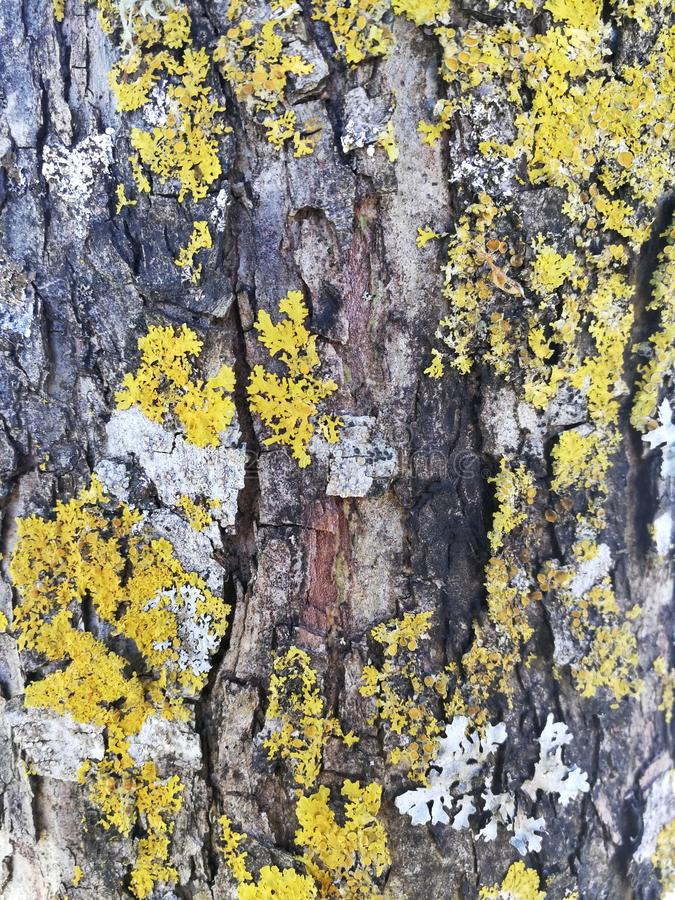 Corteccia di albero con il muschio giallo del lichene fotografia stock