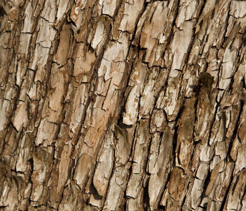 Corteccia di albero del Arbutus fotografia stock