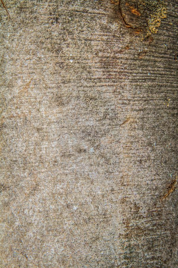 Corteccia di albero del faggio immagine stock