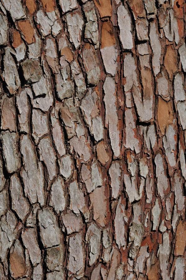 Corteccia di albero del pino fotografia stock