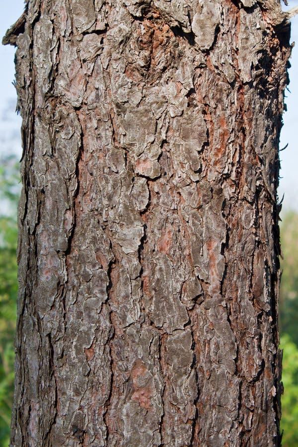 Corteccia di albero del pino di struttura immagine stock
