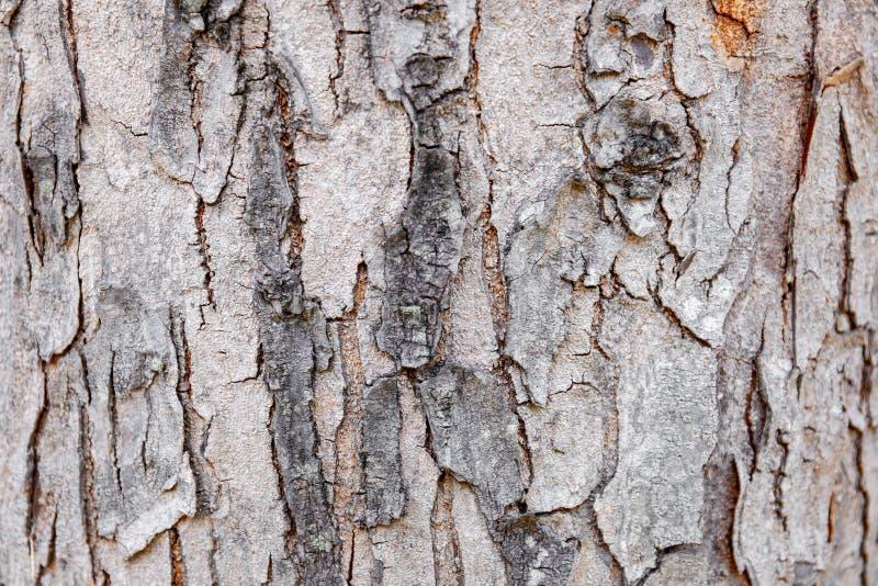Corteccia di albero del primo piano di legno duro incrinata, fondo astratto della natura fotografie stock