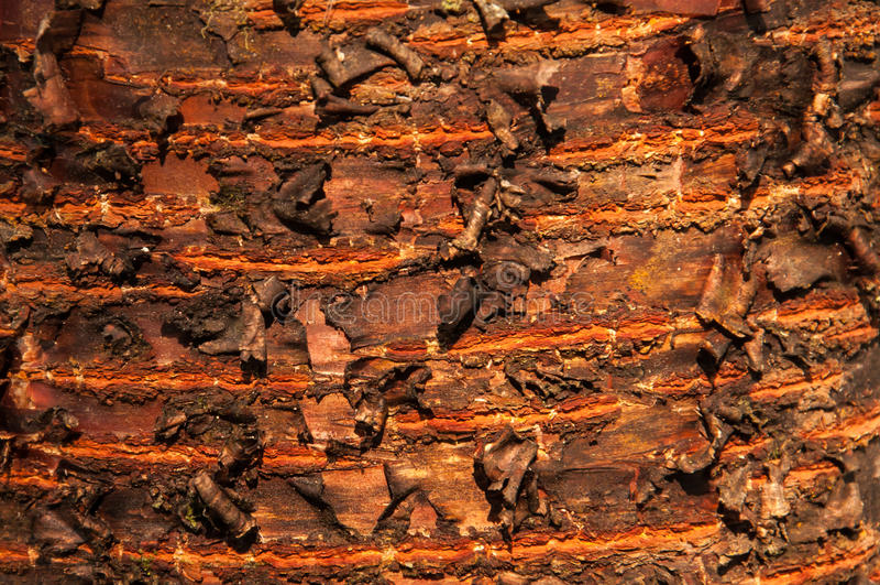 corteccia di albero del prunus fotografia stock