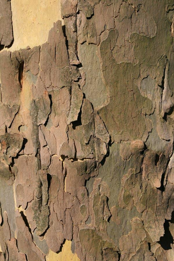 Corteccia di albero del sicomoro fotografia stock
