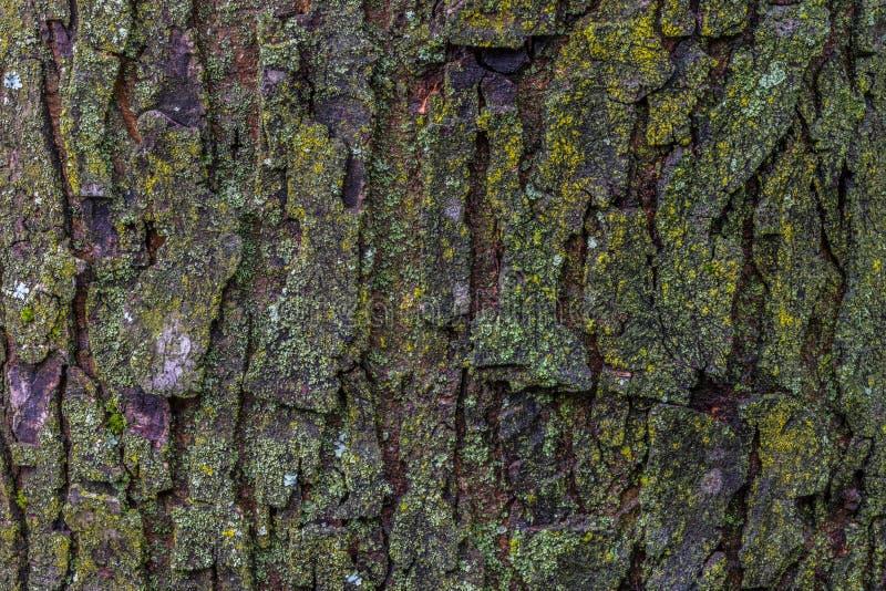 Corteccia di albero dell'acero con la fine del muschio su fotografia stock libera da diritti