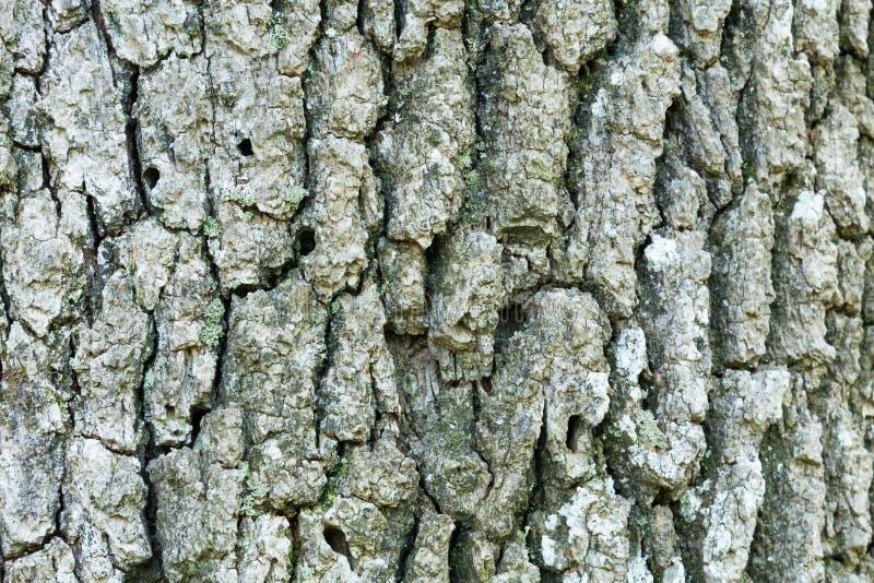 Corteccia di albero della quercia immagini stock