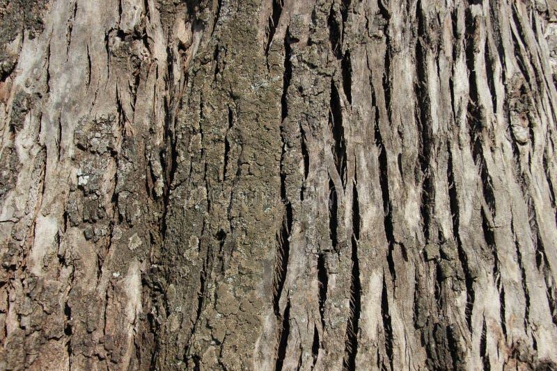 Corteccia di albero dello zoom immagine stock libera da diritti