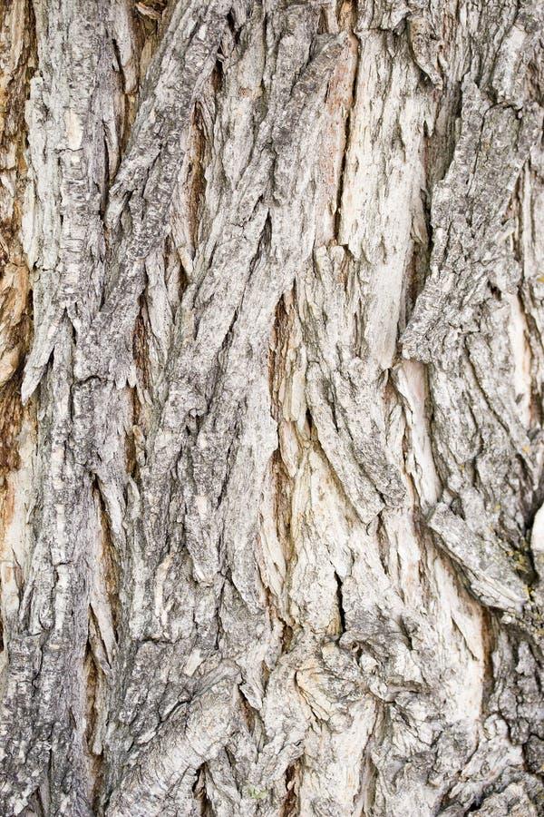 Corteccia di albero di Catalpa immagini stock libere da diritti