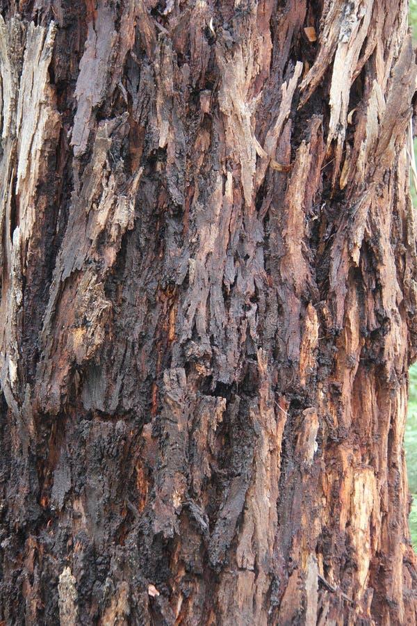 Corteccia di albero 4 - eucalyptus del compagno di mensa, Kalorama immagini stock