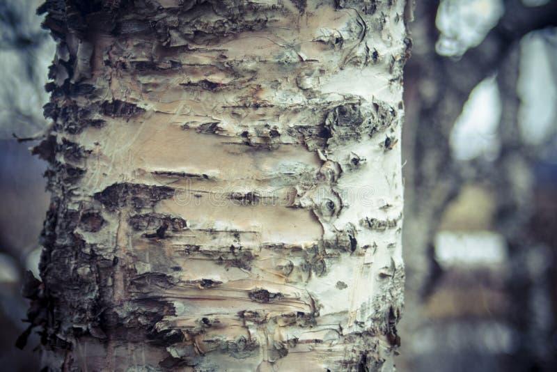 corteccia di albero, fondo di legno di struttura Forest Iceland fotografie stock libere da diritti
