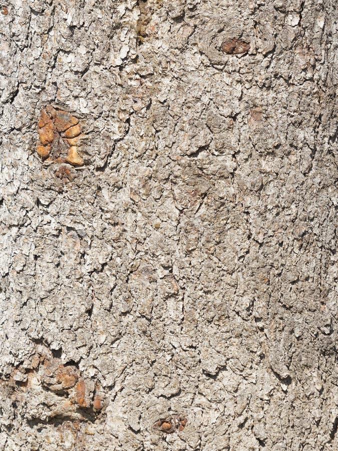 corteccia di albero marrone fotografie stock libere da diritti