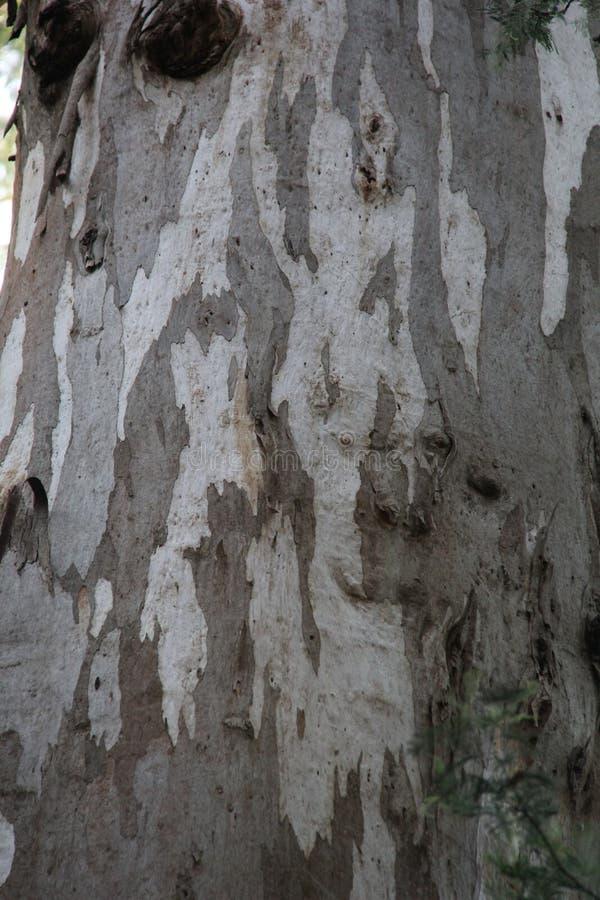 Corteccia di albero 2 - montagna Grey Eucalyptus, Kalorama immagine stock