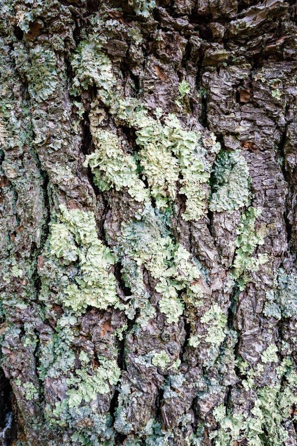 Corteccia di albero muscosa immagine stock