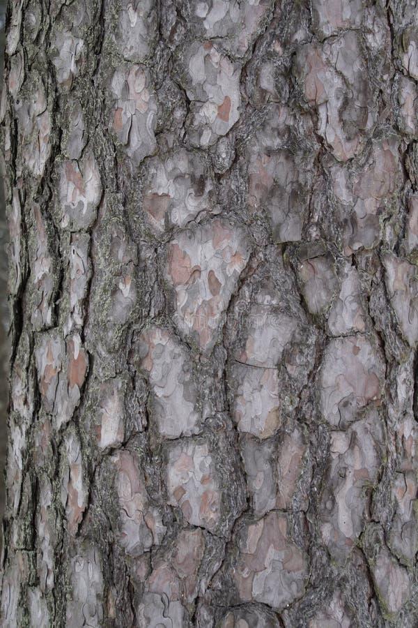 Corteccia di albero Albero di pino testure immagine fotografia stock libera da diritti