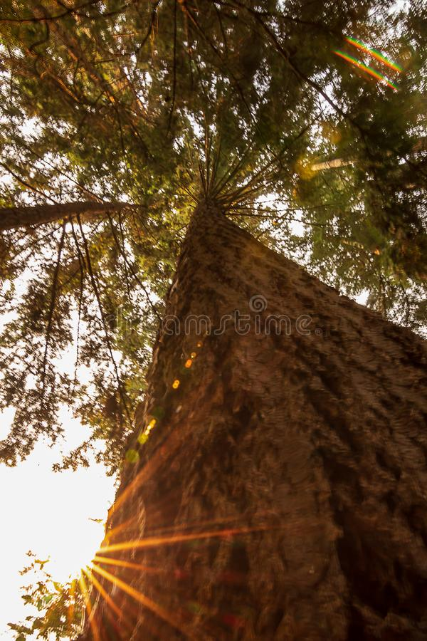 Corteccia di albero sempreverde con gli arti ed il sole fotografia stock libera da diritti